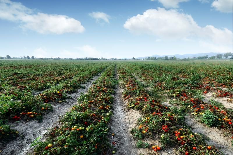 Gisement de tomate le jour d'été image stock