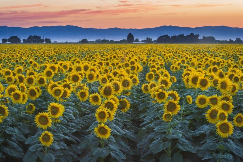 Gisement de tournesol au coucher du soleil près de la région boisée, la Californie photo libre de droits