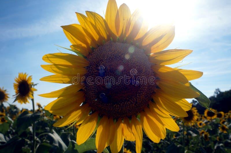 Gisement de tournesol avec des abeilles et la lumière du soleil image libre de droits