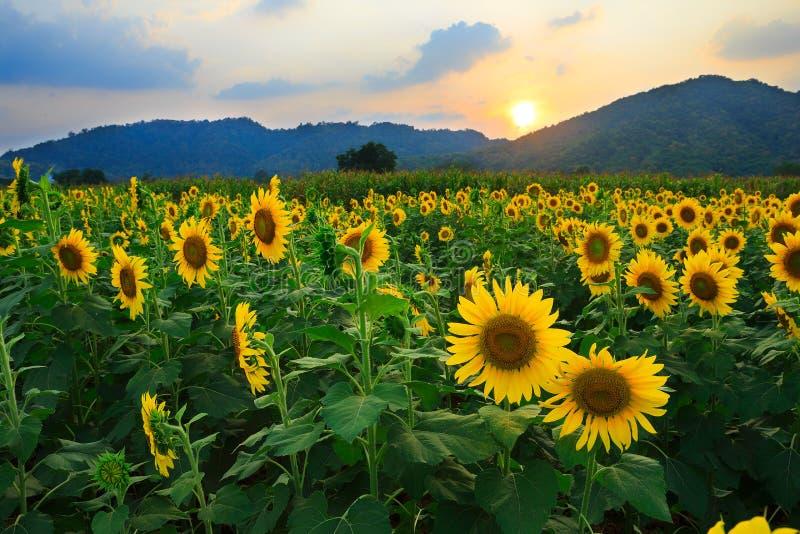 Gisement de tournesol avec le coucher du soleil photographie stock