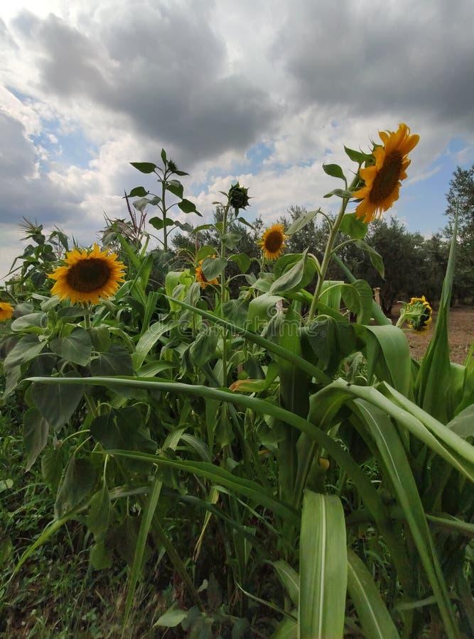 Gisement de tournesol dans l'heure d'été étroitement  photos libres de droits
