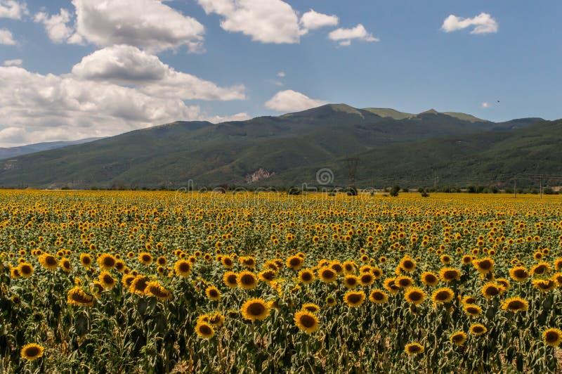 Gisement de tournesol près de la montagne image libre de droits