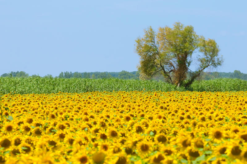Gisement de tournesol, Provence, France, orientation peu profonde image stock
