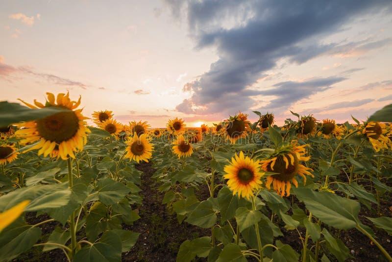Gisement de tournesols au coucher du soleil photos libres de droits