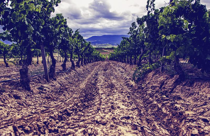 Gisement de vin pour faire le vin photos stock
