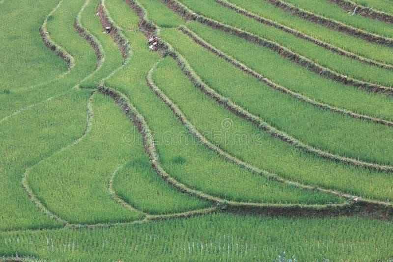 Gisement en terrasse de riz photo stock