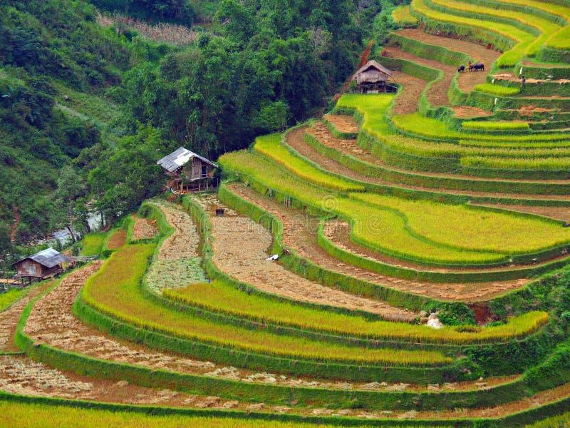 Gisement en terrasse de riz, MU Cang Chai Vietnam photo stock