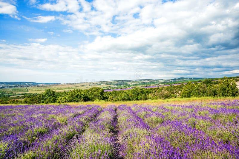 Gisement et ferme de lavande au jour ensoleillé avant tempête, au paysage rural traditionnel de la Provence avec des fleurs et au photographie stock