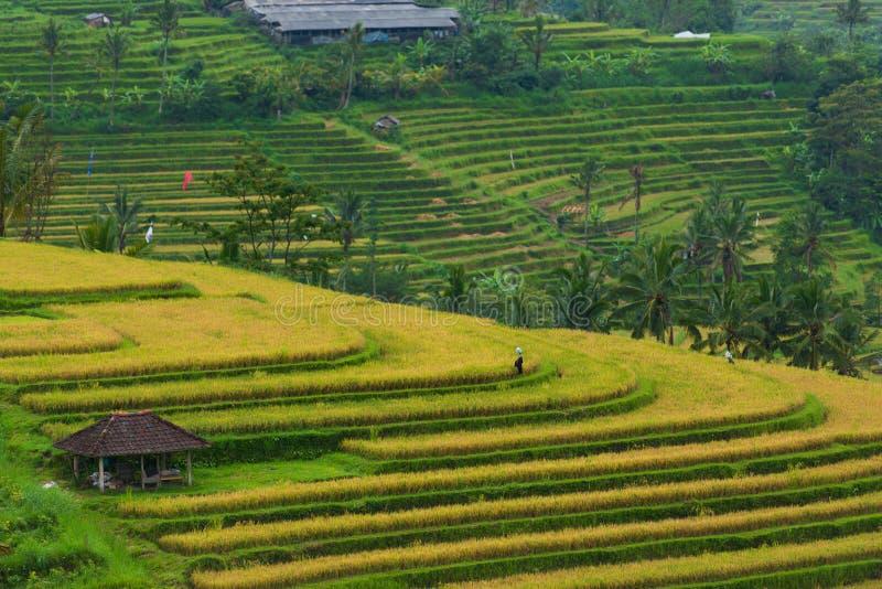 Gisement indonésien de riz image stock