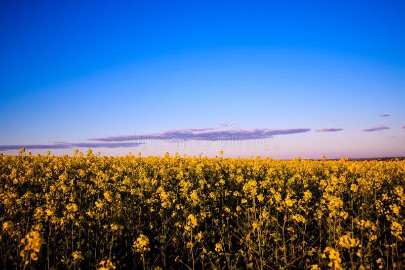 Gisement jaune de canola au soleil Endroit rural d'emplacement de l'Ukraine, l'Europe Fleurs de viols Fond saisonnier frais ?colo image stock