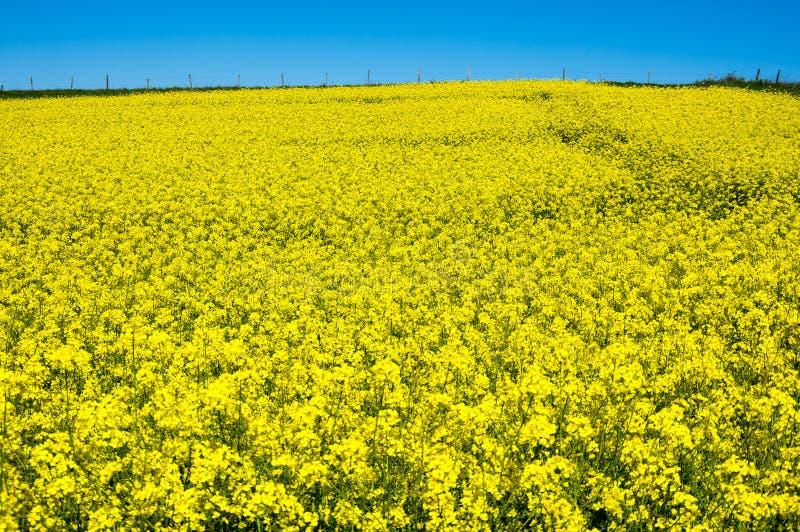 Gisement jaune de colza photographie stock libre de droits
