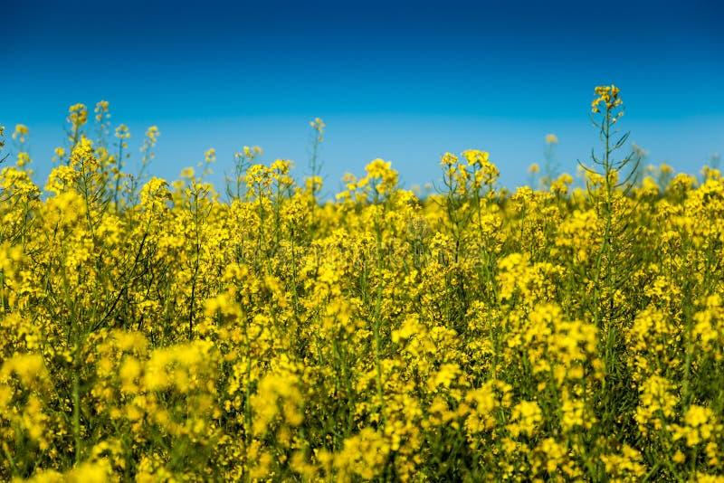 Gisement jaune de graine de colza dans la campagne tchèque photographie stock