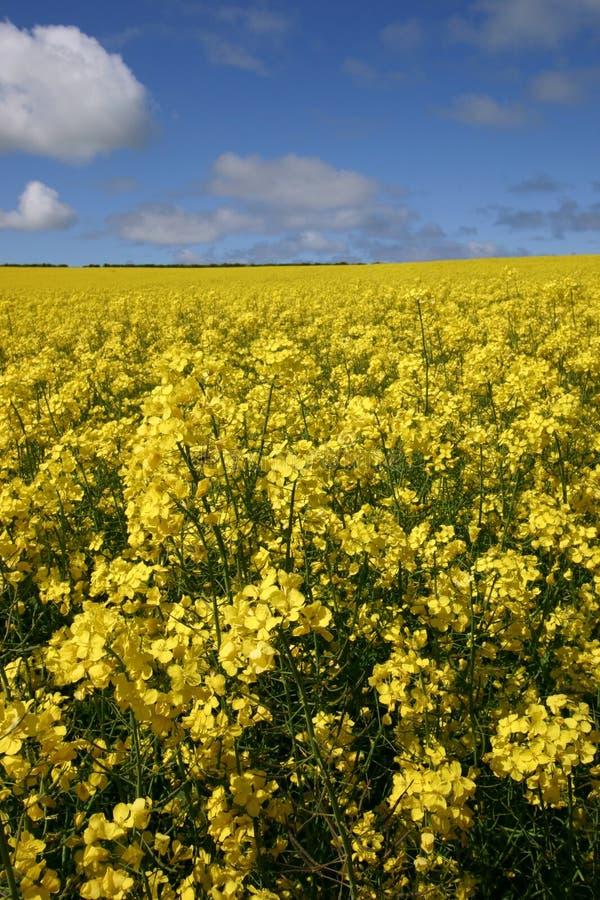 Gisement jaune de graine de colza sous un ciel bleu lumineux photos libres de droits