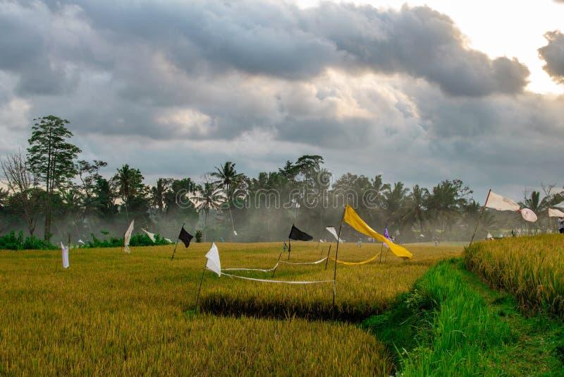 Gisement jaune de riz avec le lanscape de paume et de nuage image stock