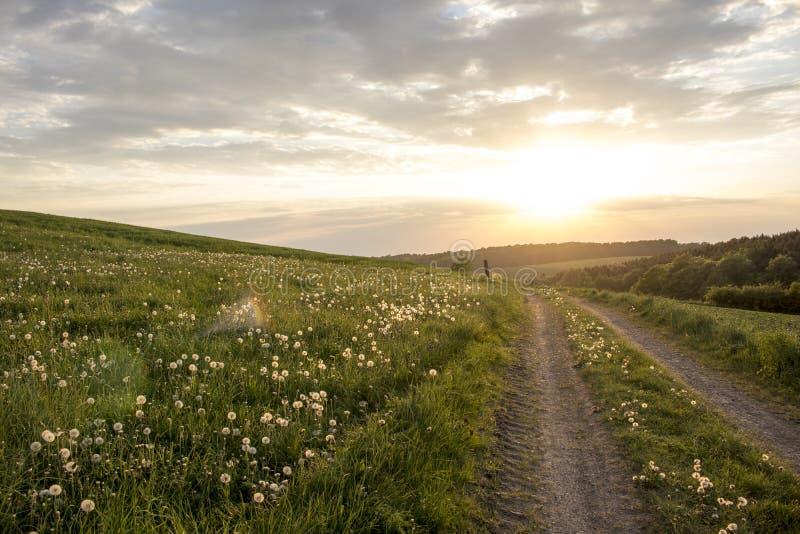 Gisement large de pissenlit près de route de coucher du soleil photographie stock