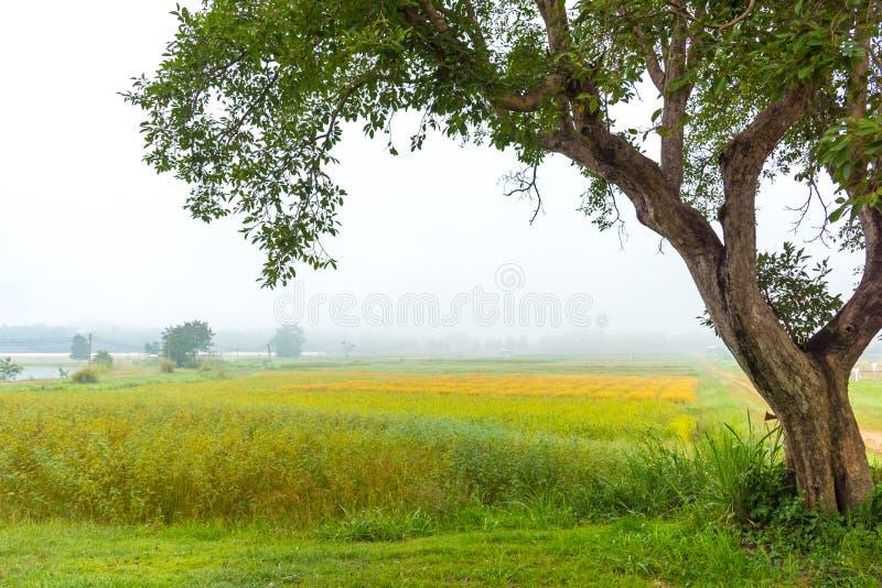 gisement m?r de riz avec le brouillard en ciel images libres de droits
