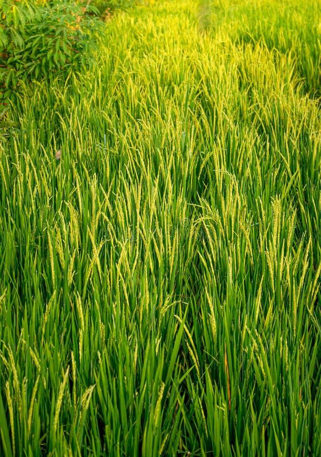 Gisement organique vert luxuriant de riz pendant le lever de soleil d'or pendant le matin images libres de droits