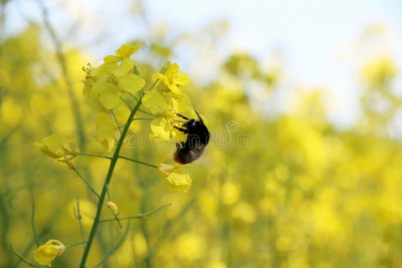 Gisement pollinisé par abeille de canola photographie stock