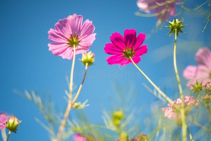 Gisement rose de cosmos avec le fond de ciel bleu photos stock