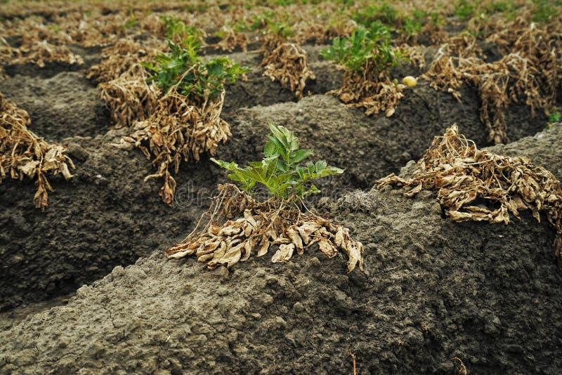 Gisement sec de pomme de terre images libres de droits