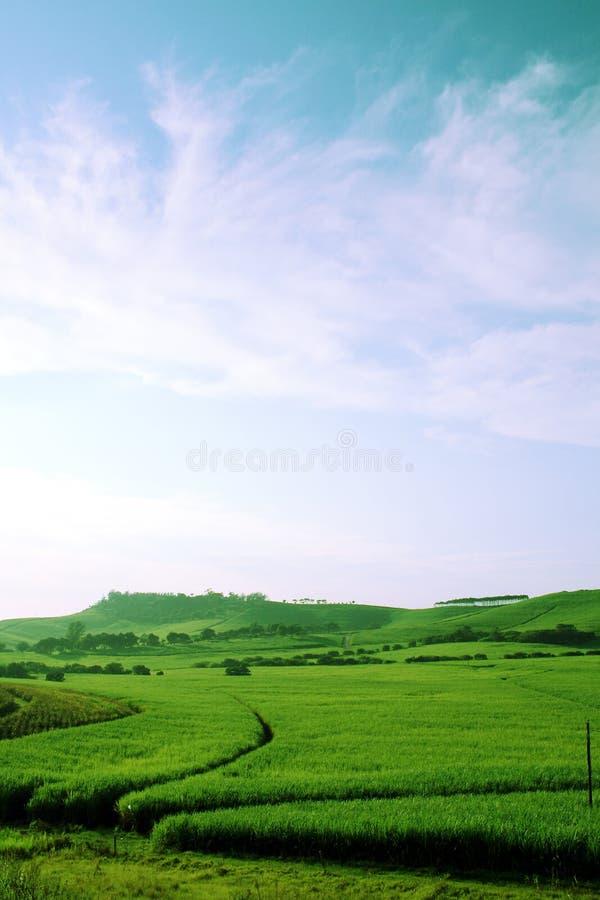 Gisement vert de canne à sucre images stock