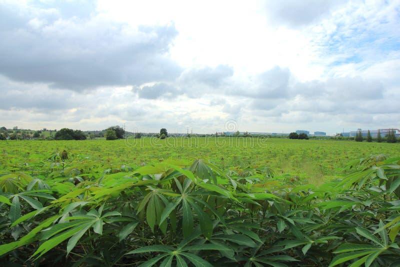Gisement vert de manioc photographie stock libre de droits