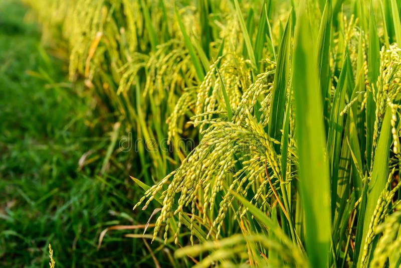 Gisement vert de riz photos stock