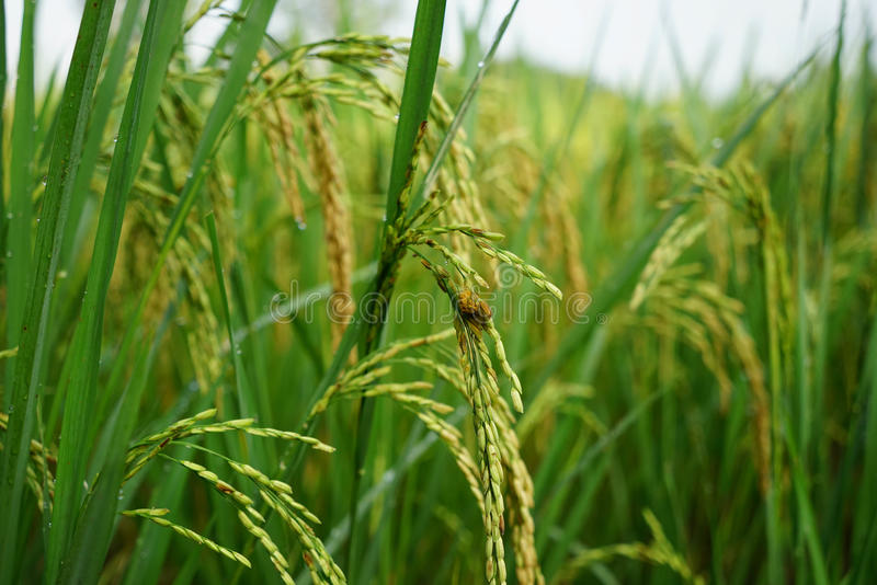 Gisement vert de riz images libres de droits