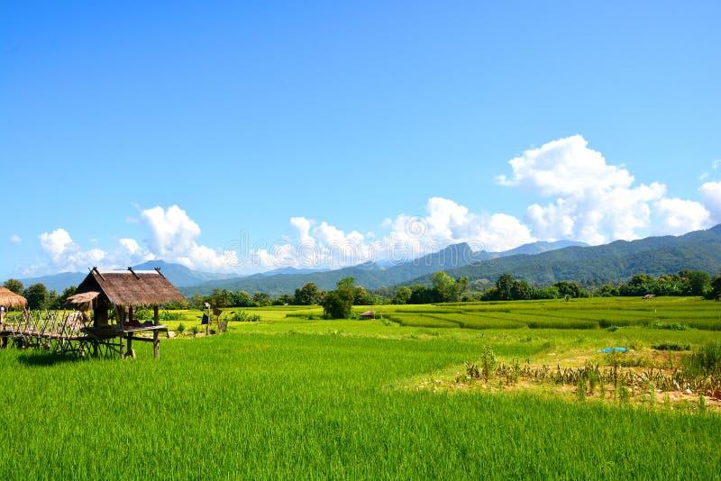 Gisement vert de riz image libre de droits