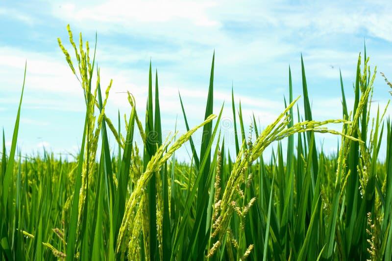 Gisement vert de riz en nature image libre de droits