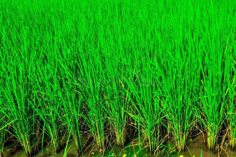 Gisement vert de riz images stock