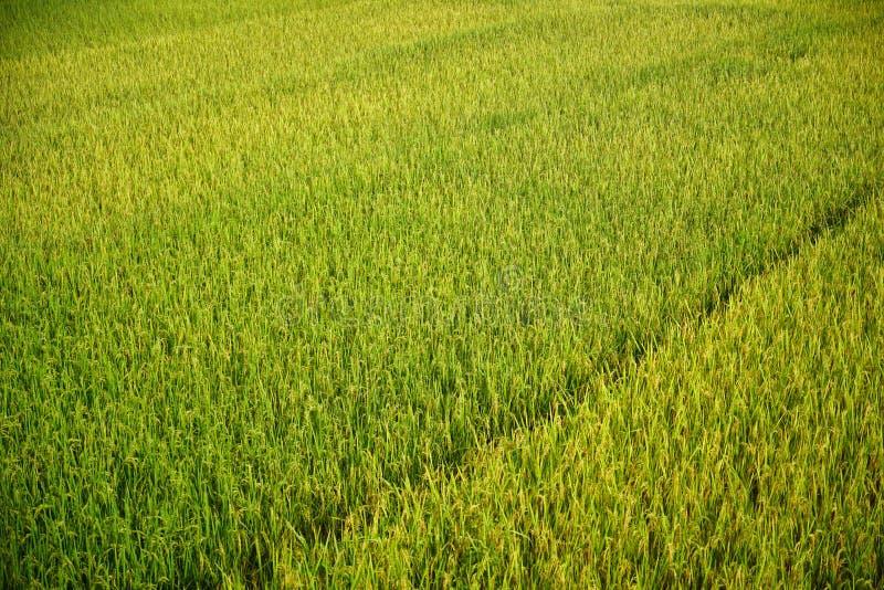 Gisement vert frais de riz images stock