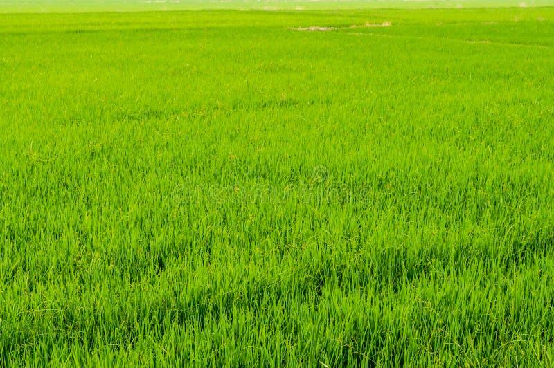 Gisement vert frais de riz en Thaïlande quand temps de lever de soleil image stock