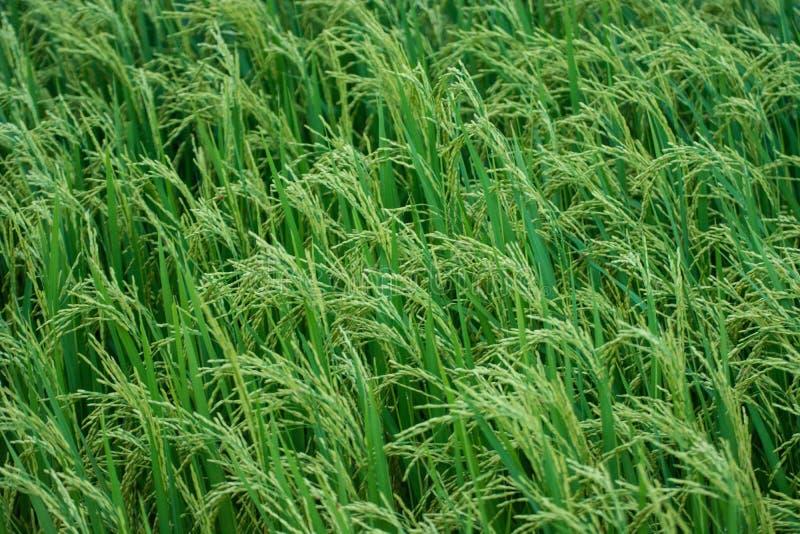 Gisement vert Kanchanaburi Thaïlande de riz image libre de droits