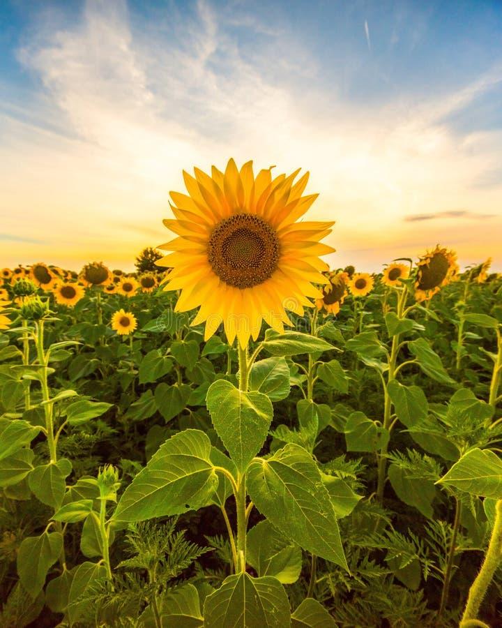 Gisement vibrant de tournesol dans le coucher du soleil photo libre de droits