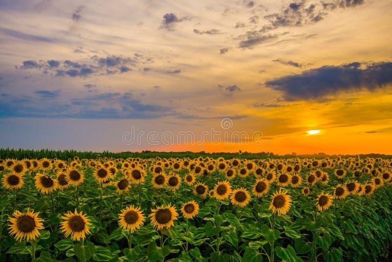 Gisement vibrant de tournesol dans le coucher du soleil en été photographie stock libre de droits