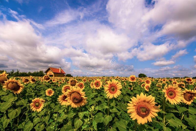 Gisement vibrant de tournesol en été avec la ferme et les nuages blancs image libre de droits