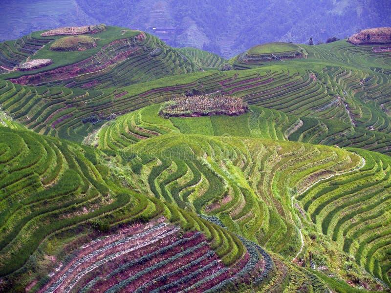 Gisements 5 de riz images libres de droits