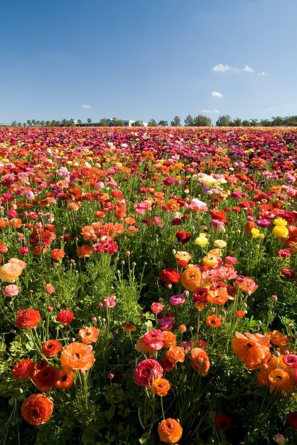 Gisements de fleur de Carlsbad photo stock