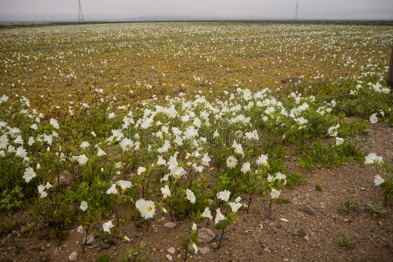 Gisements de fleur pendant le désert fleurissant dans Atacama, Chili photo stock