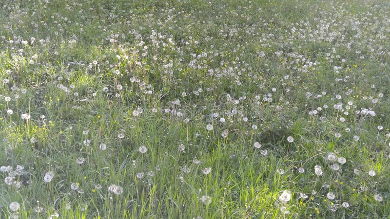 Gisements de fleur de ressort dans les montagnes de Shaki photographie stock libre de droits