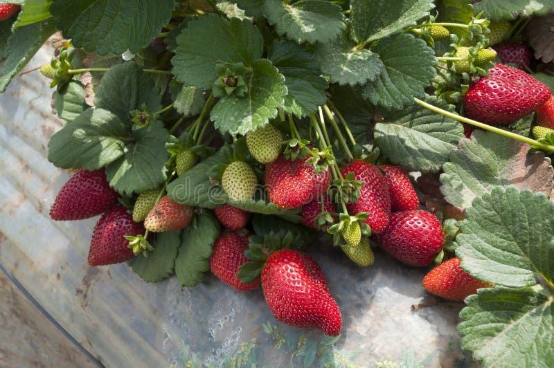 Gisements de fraise, saison de cueillette image libre de droits