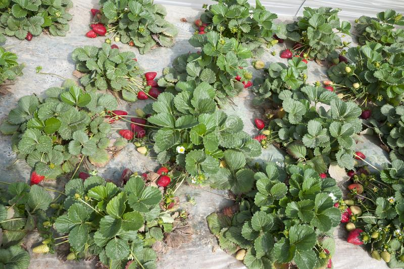 Gisements de fraise, saison de cueillette photos stock
