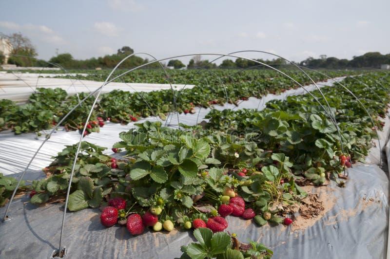 Gisements de fraise, saison de cueillette photo stock