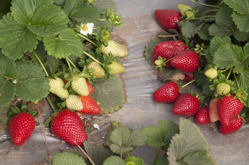 Gisements de fraise, saison de cueillette images stock