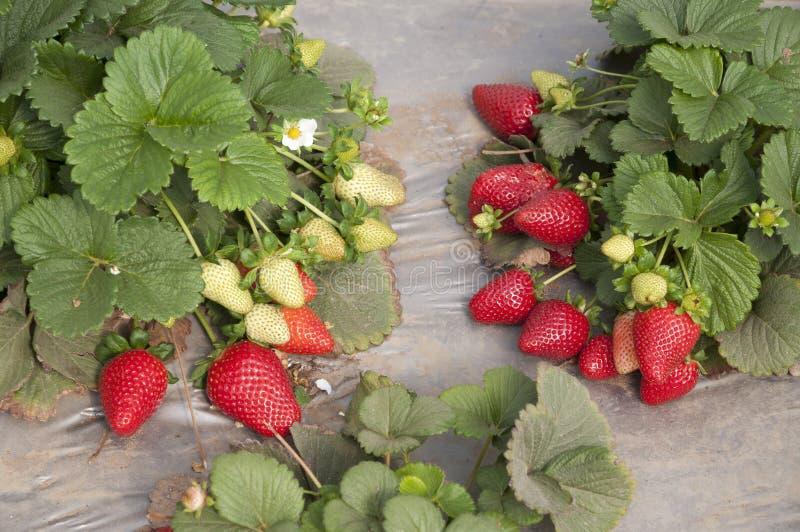 Gisements de fraise, saison de cueillette photo libre de droits