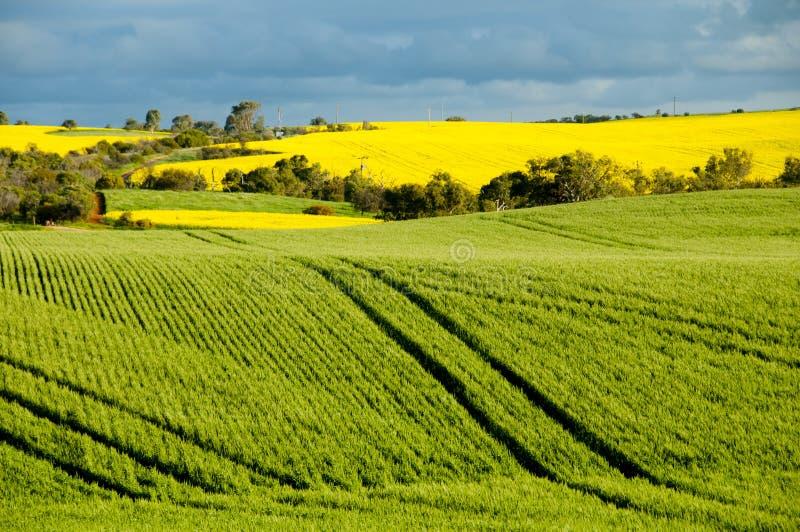 Gisements de graine de colza et de blé images libres de droits