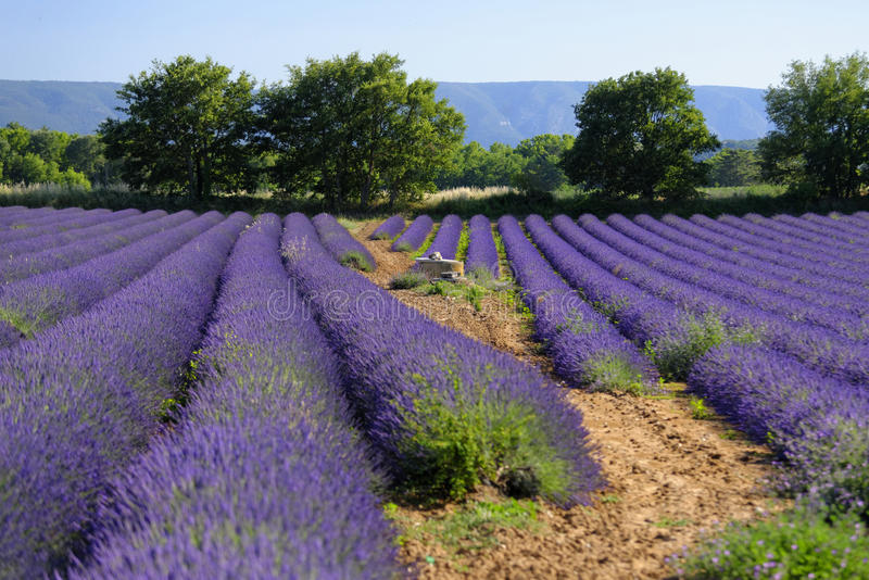 Gisements de lavande en Provence photo stock