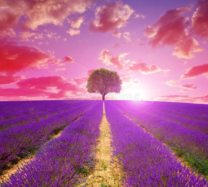 Gisements de lavande en Provence au coucher du soleil photos stock