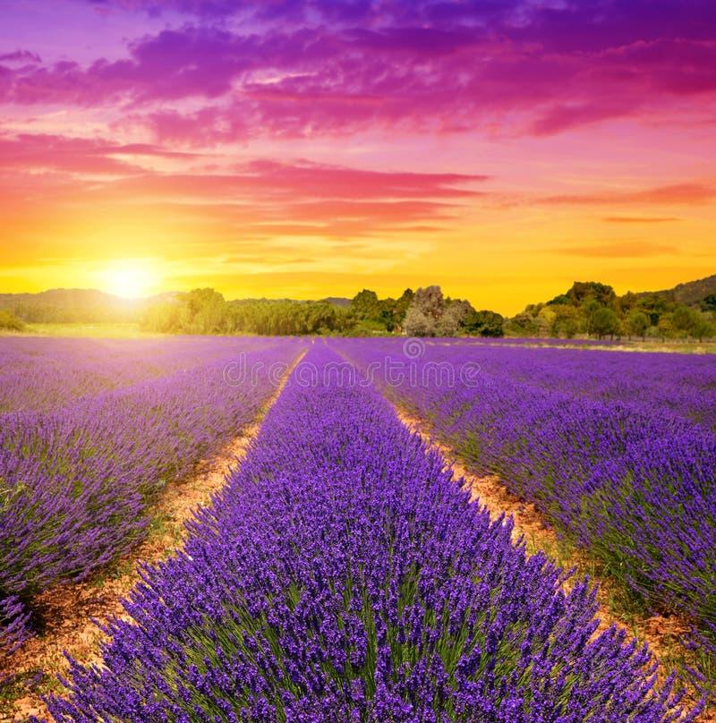 Gisements de lavande en Provence au coucher du soleil photo libre de droits